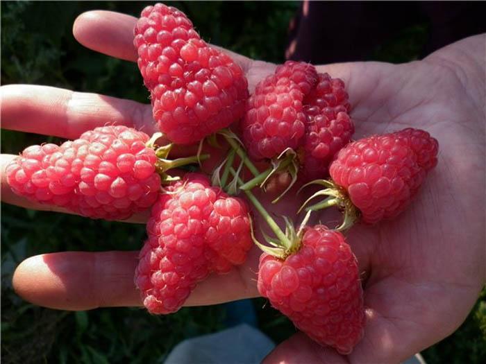 Сорт Геракл - крупные ягоды