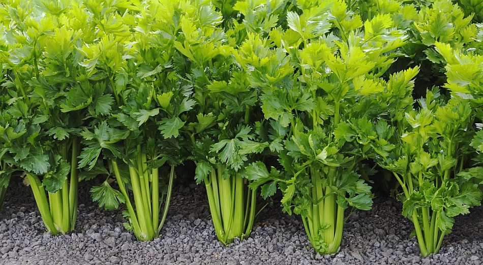 Посаженный овощ на огороде