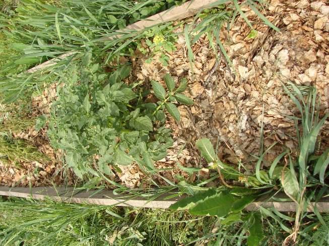 Высохший коровий навоз для удобрения грунта