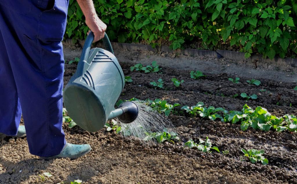 Полив рассады капусты