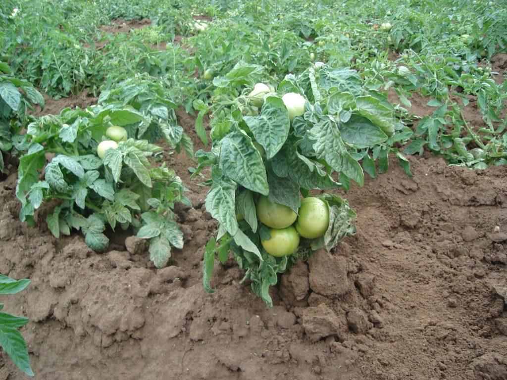 Внешний вид штамбовых томатов