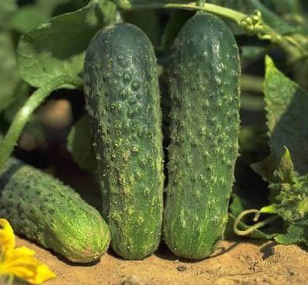 Плоды сорта Герда