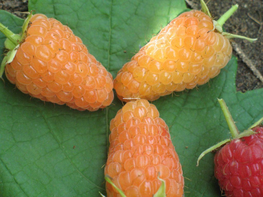 Огромные ягоды малины