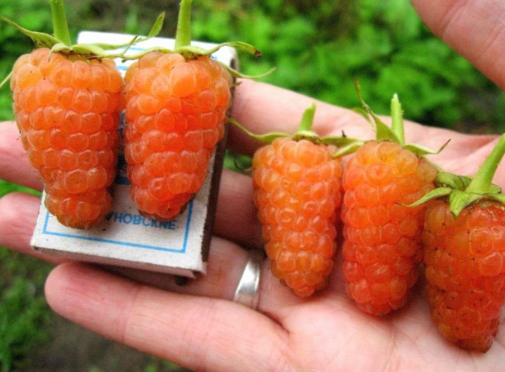 Плоды оранжевой малины на руке