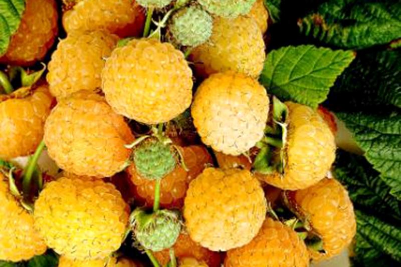 """Плоды малины сорта """"Оранжевое чудо"""""""