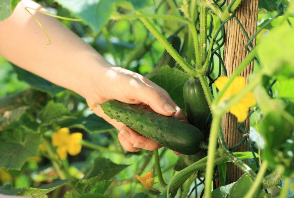 Уборка урожая самоопыляемых огурцов