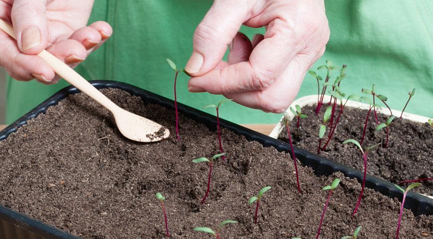 Выращивание и пикировка рассады свеклы