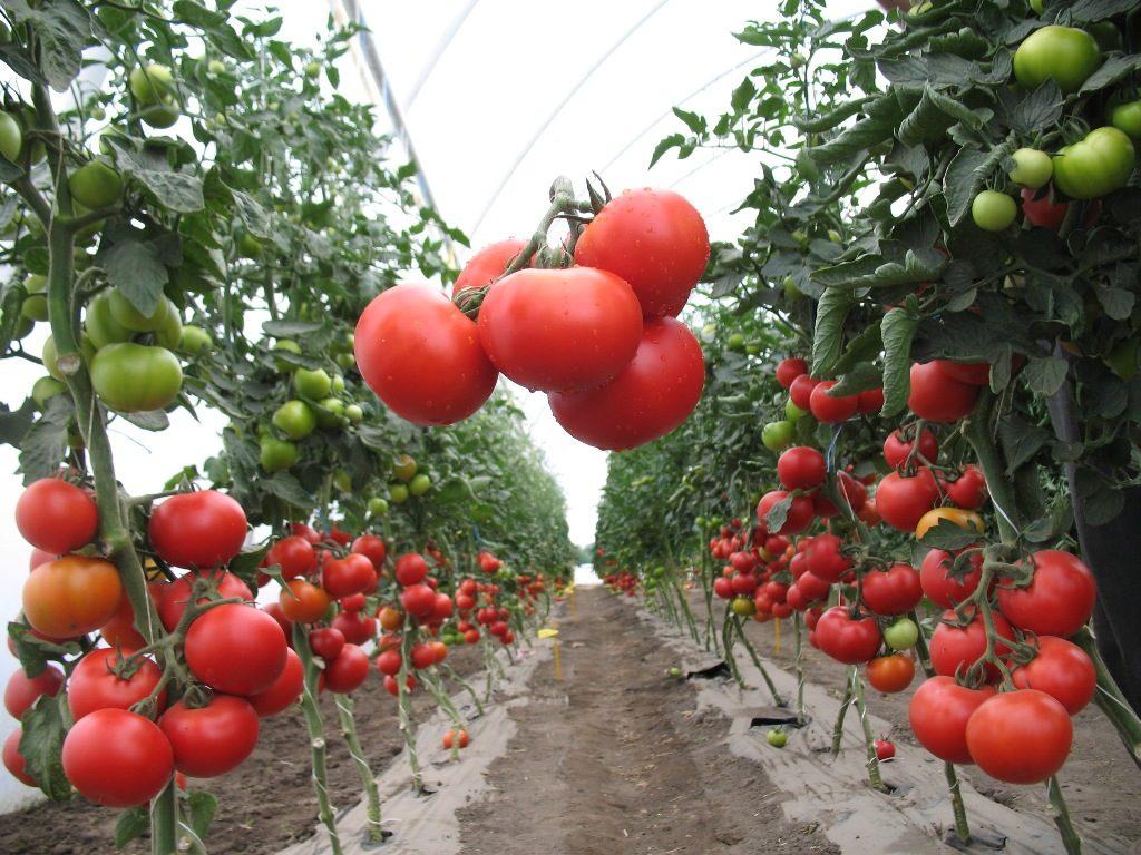 Полудетерминантный сорт помидор