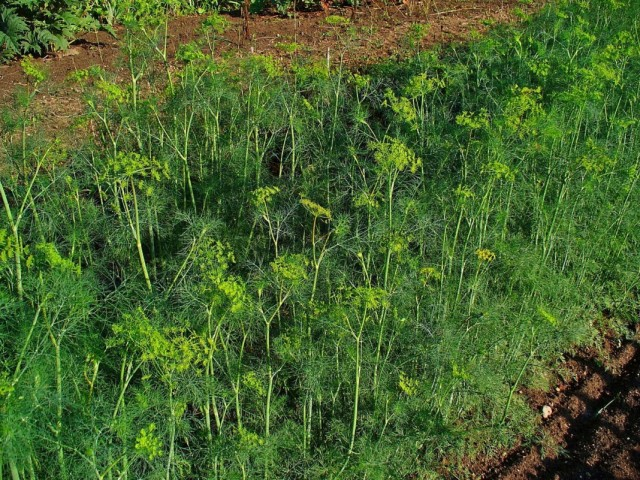 Посадка укропа для отпугивания капустных вредителей