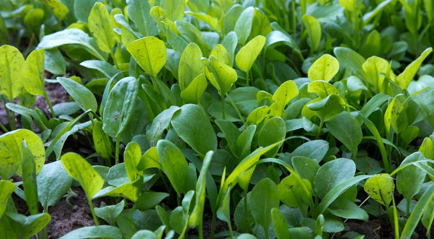 Выращивание щавеля в открытом грунте семенами: секреты хорошей зелени