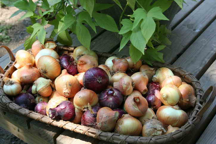 Хранение хороших луковиц в плетеной корзине