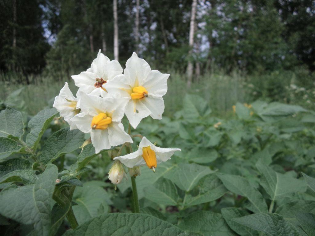 Цветки картофеля на грядке