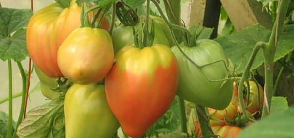 Ветка помидор Эльдорадо