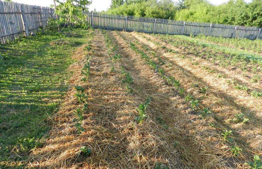 Выращивание картошки под соломой
