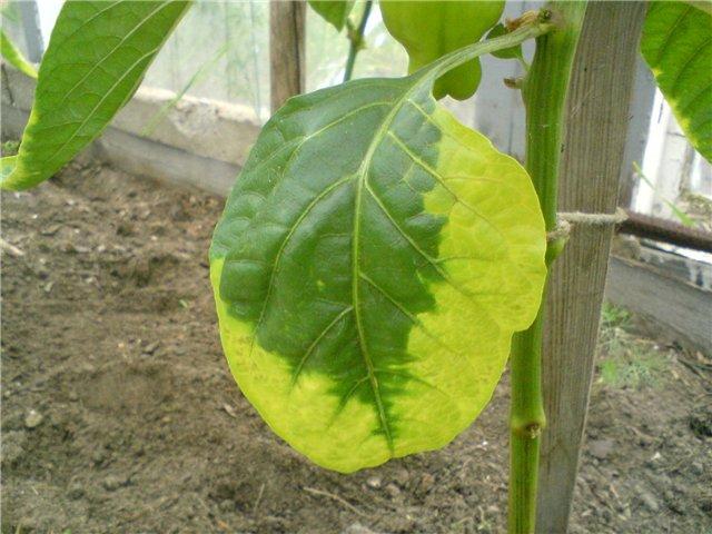 Желтеющие листья перца