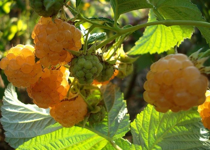 Сорт малинки - Желтая сластена