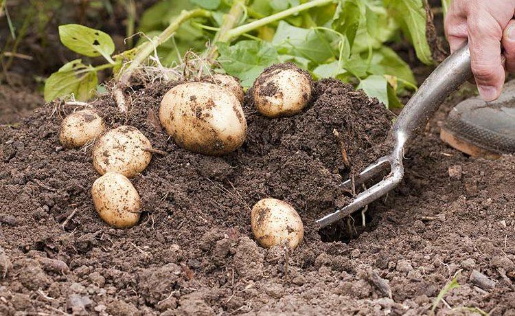 Ручная уборка картофеля
