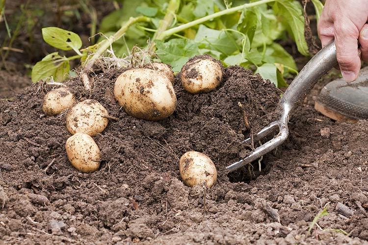 Ручной сбор урожая картофеля
