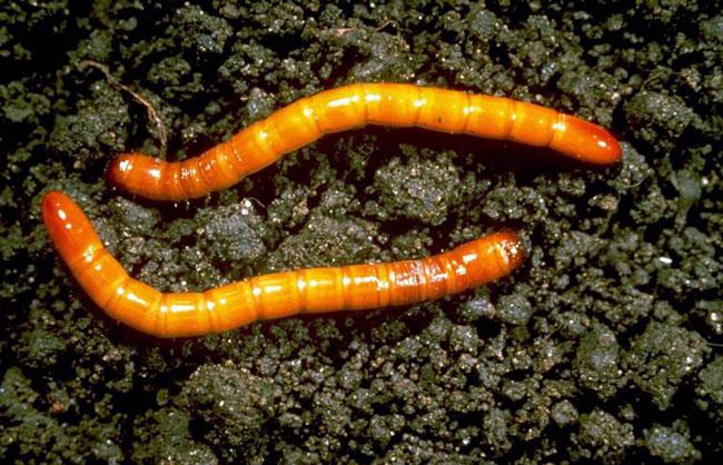 Личинки проволочника на грунте
