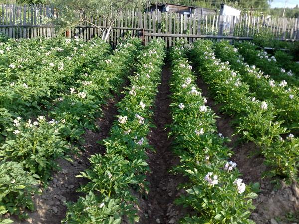 Цветущий картофель на огороде