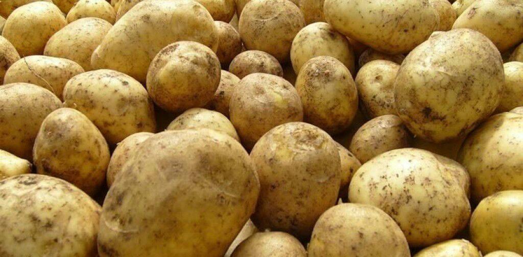 Урожай картофеля на даче