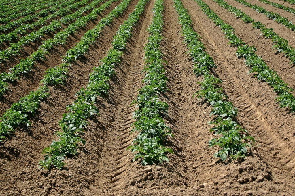 Окученный картофель на поле