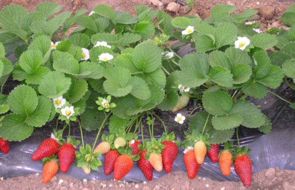Разновидность сортов ремонтантной ягоды