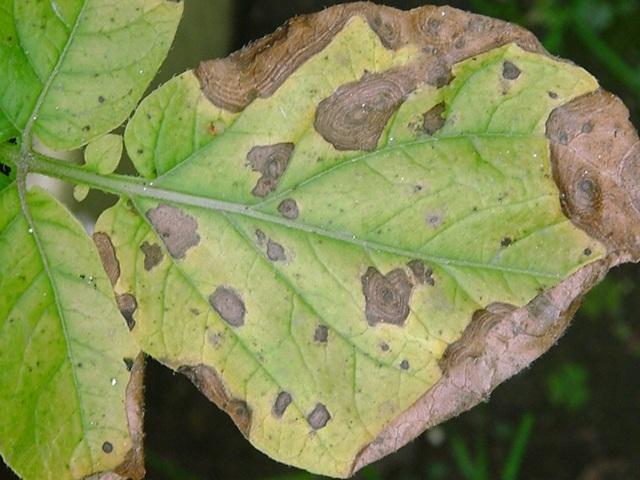 Кладоспориоз на листьях перца