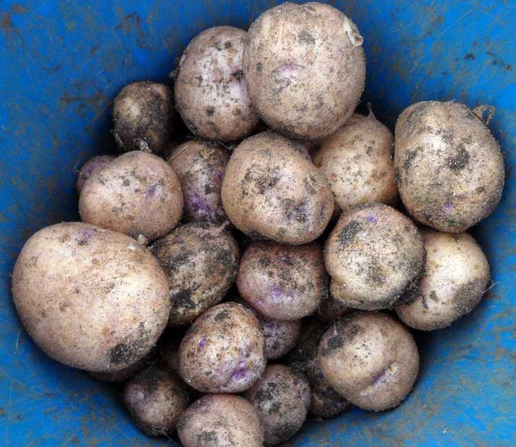 Синеглазка - картофель в ведре