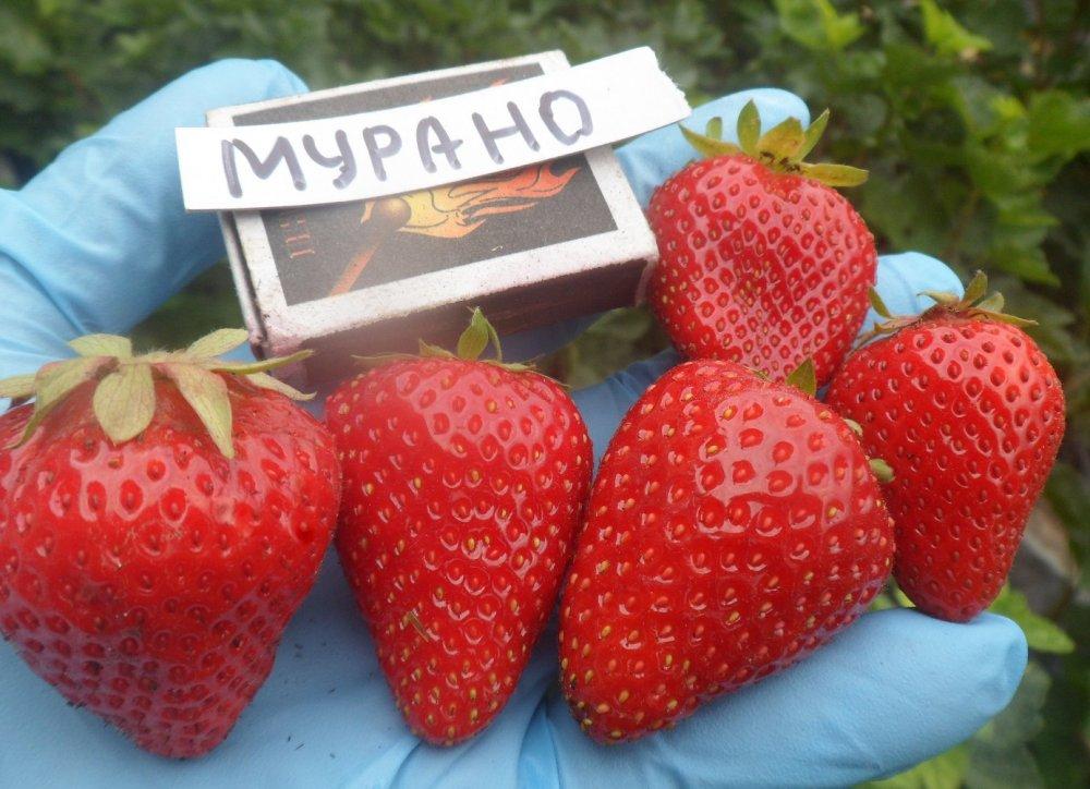 Спелые ягоды Мурано