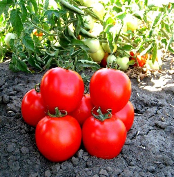 Урожай томатов на грядке