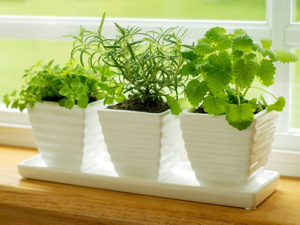 Выращивание кинзы в домашних условиях
