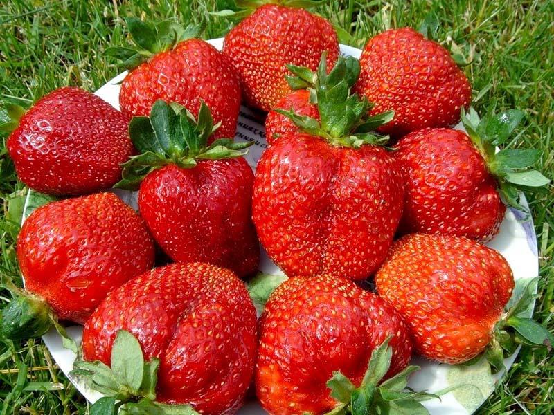 Крупные плоды клубники сорта Королева Елизавета