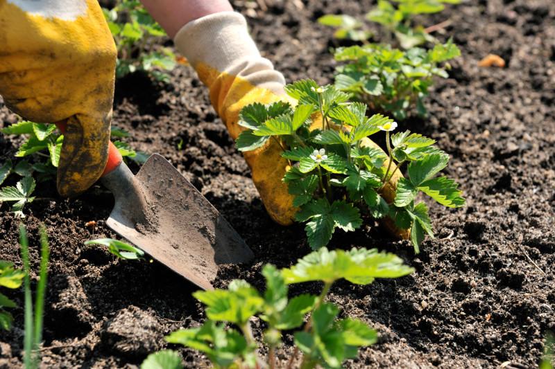 Рыхление почвы вокруг клубники