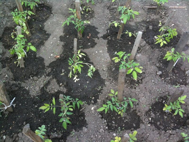 Гнездовая посадка томатов в грунт