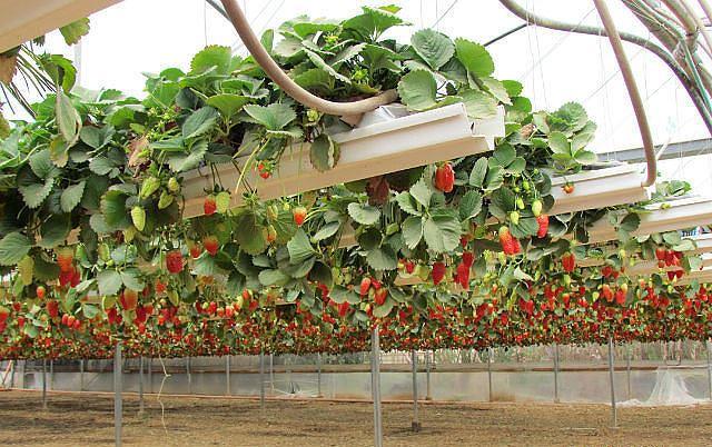 Выращивание клубники по голландской технологии круглый год