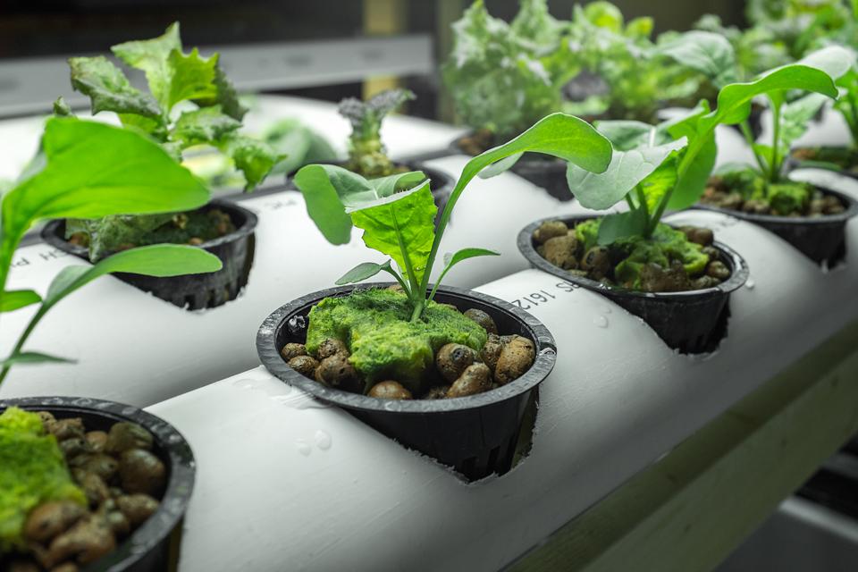 Выращивание рукколы в горшочках