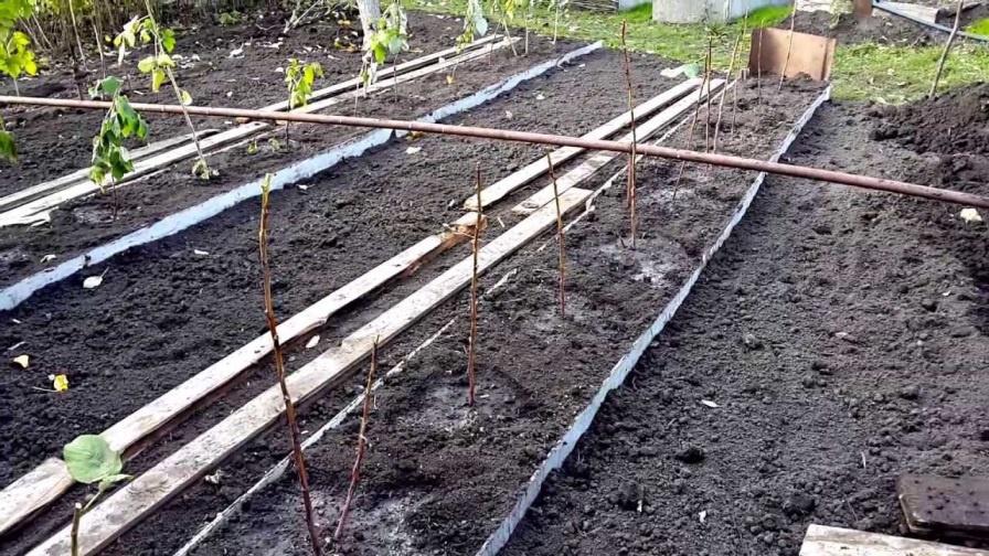 Посадка малины в почву