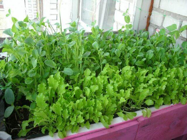 Выращивание зеленого салата на подоконнике