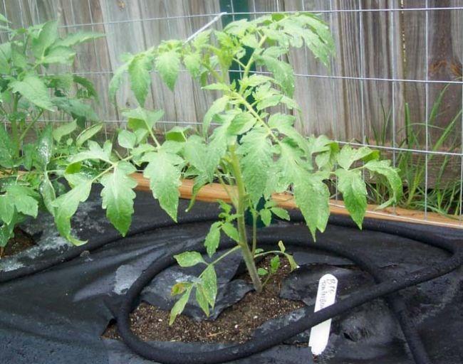 Черная пленка для мульчирования помидоров