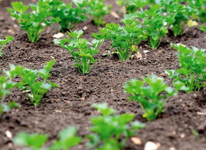 Петрушка как выращивать на огороде