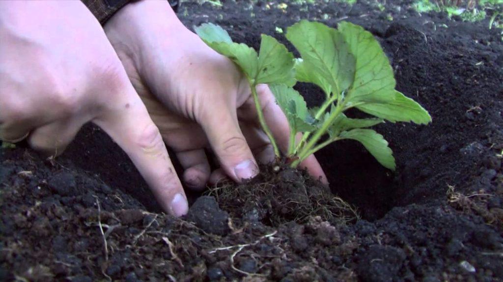 Посадка земляники в почву