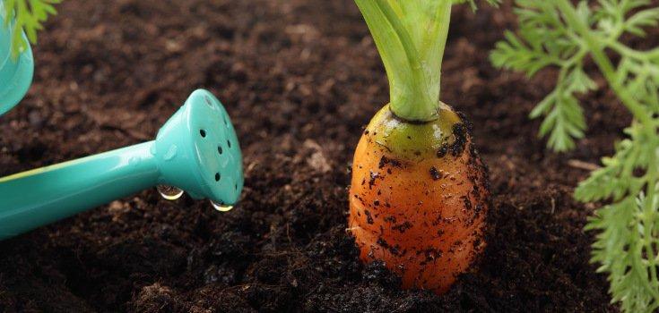 Полив моркови с лейки