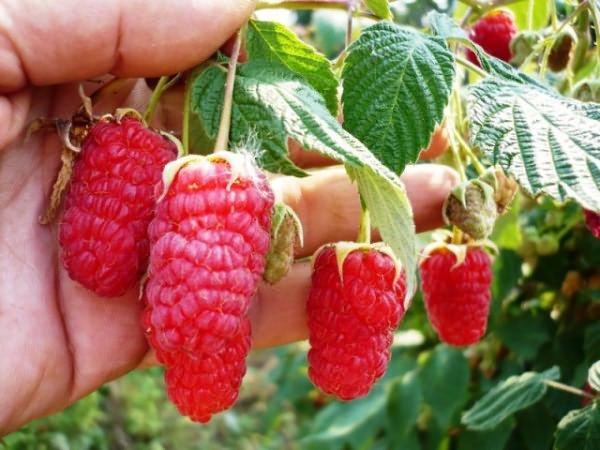 Малиновые ягоды Бальзам на ветке