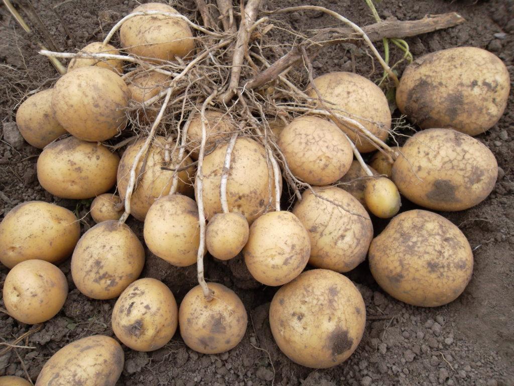 Клубни картофеля сорта Заря
