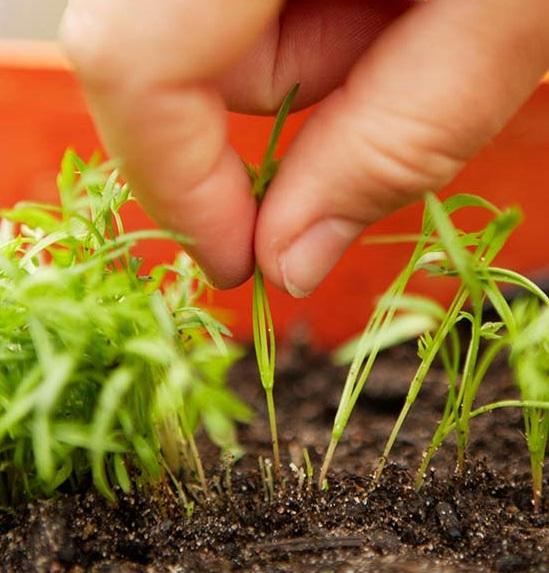 Первое прореживание моркови