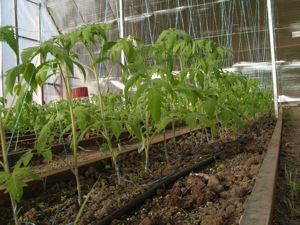 Посаженные помидоры в теплице из поликарбоната