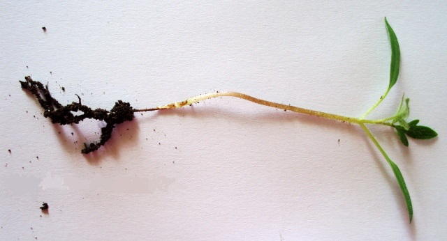 Черная ножка у баклажана