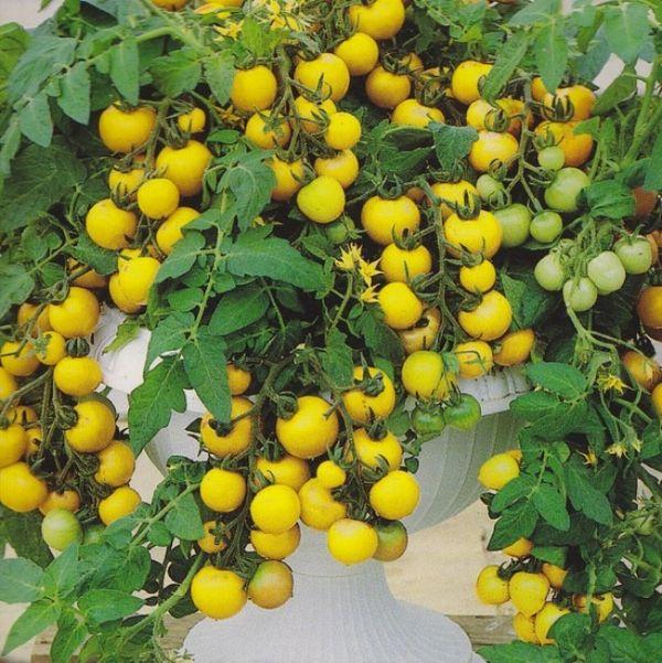 Сорт томатов Ацтек на огороде