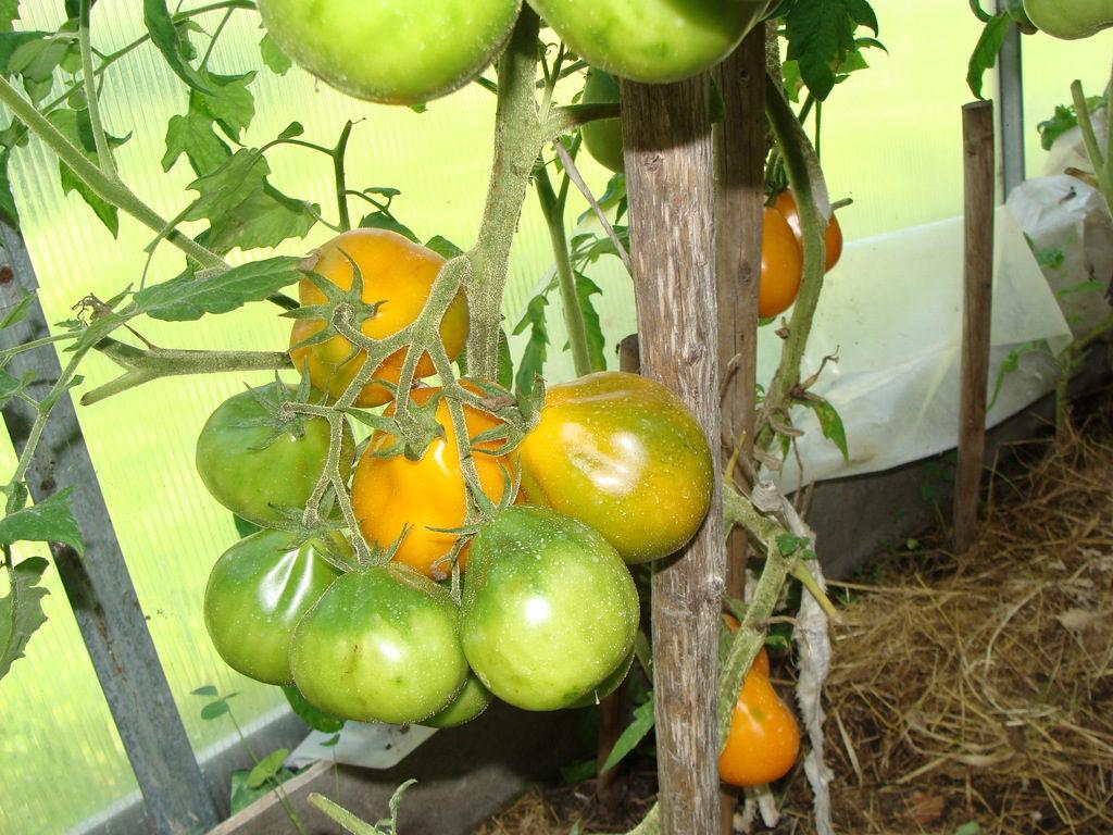 Куст томата с зелеными плодами